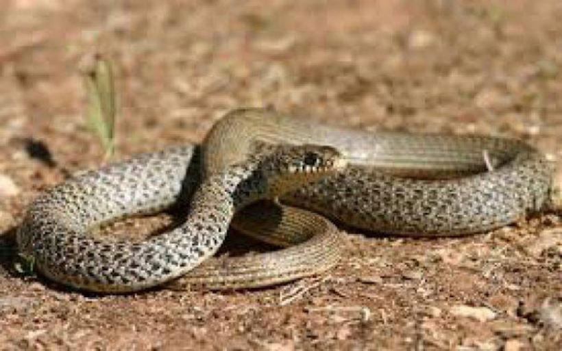 Πανικός στην Ευρυτανία: Ήρθαν αντιμέτωποι με φίδι 2,5 μέτρων