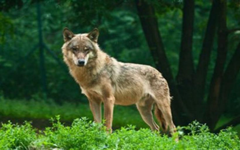 Εμφανίστηκαν λύκοι στην περιοχή της Ρώμης μετά από 100 χρόνια