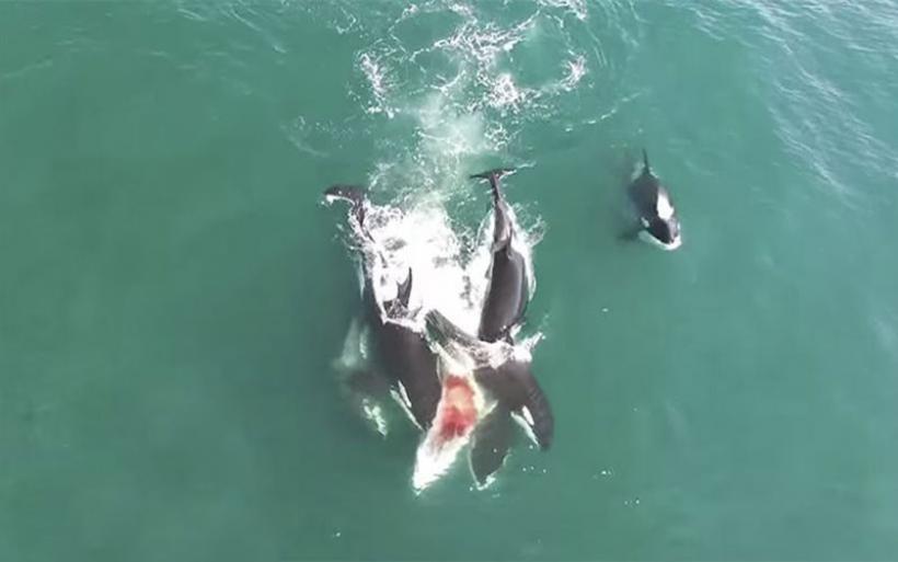 Σπάνιο βίντεο: Κοπάδι από όρκες κατασπαράσσουν φάλαινα