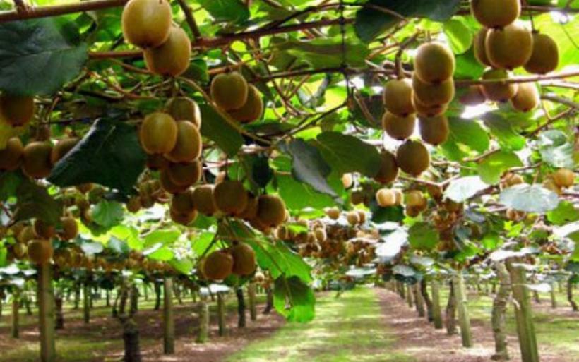 «Καλπάζει» και φέρνει συνάλλαγμα η καλλιέργεια ακτινιδίου