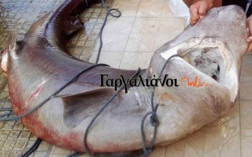 Έπιασαν καρχαρία 180 κιλών στο λιμάνι της Μαραθόπολης