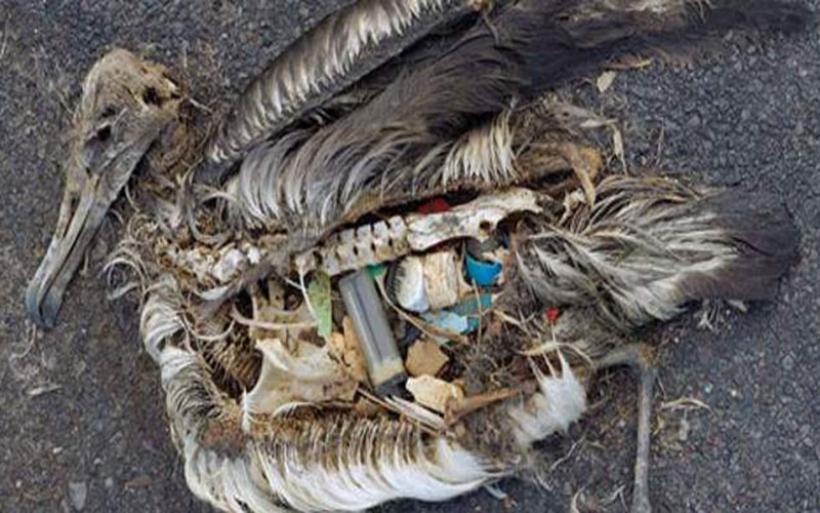 Γιατί τα θαλασσοπούλια τρώνε τα πλαστικά;