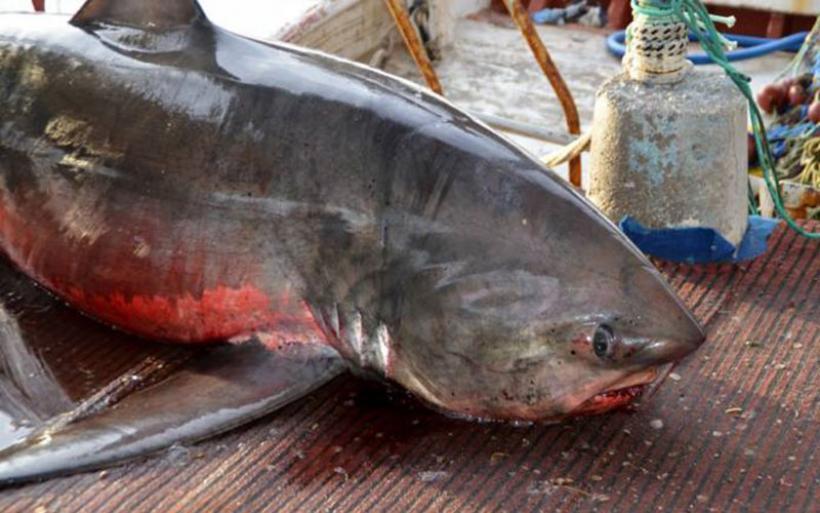Γέμισε καρχαρίες ο Αργολικός. Εντοπίστηκε και δεύτερος καρχαρίας μέσα σε δύο ημέρες