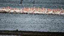 Λέσβος: Πάνω από 1.000 φλαμίνγκο «αγκαλιάστηκαν» για να ζεσταθούν