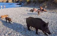 Πεινασμένα αγριογούρουνα «λεηλάτησαν» το φαγητό λουόμενων στη Μασσαλία