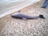 Πάτρα: Ξεβράστηκε δελφίνι με κομμένη την ουρά – Από τα μάτια του κυλούσαν δάκρυα με αίμα