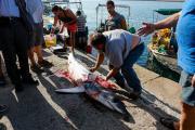 Καρχαριοειδές 3 μέτρων αλίευσαν ψαράδες από το Πλωμάρι στη νότια Λέσβο