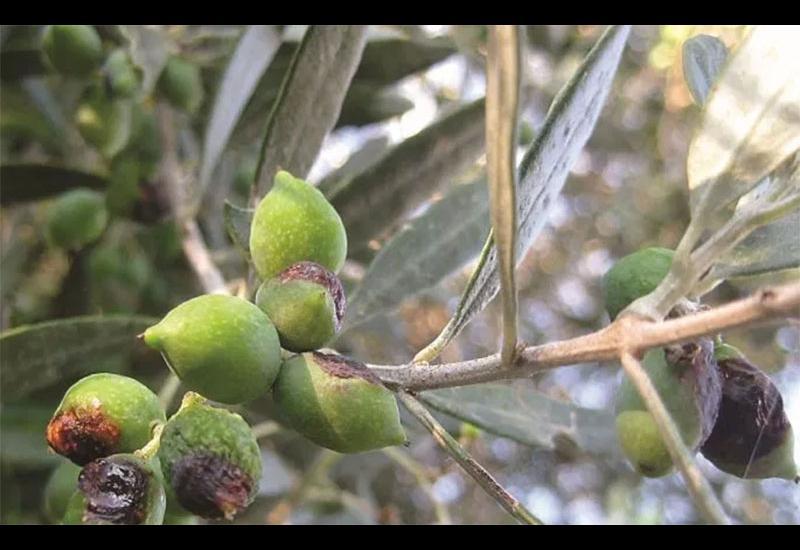 «Θερίζει» ο δάκος 400.000 ελαιόδεντρα στον Πτελεό – Κίνδυνος για ολοκληρωτική καταστροφή της σοδειάς